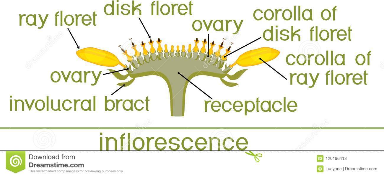 Structure Of Flower Of Sunflower In Cross Section Diagram Of Flower