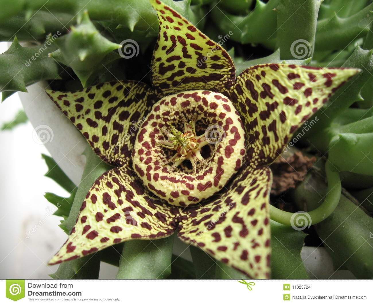 Plante Robuste Exterieur Succulent Cactus Flower Stock Photo Image Of Five Cactus