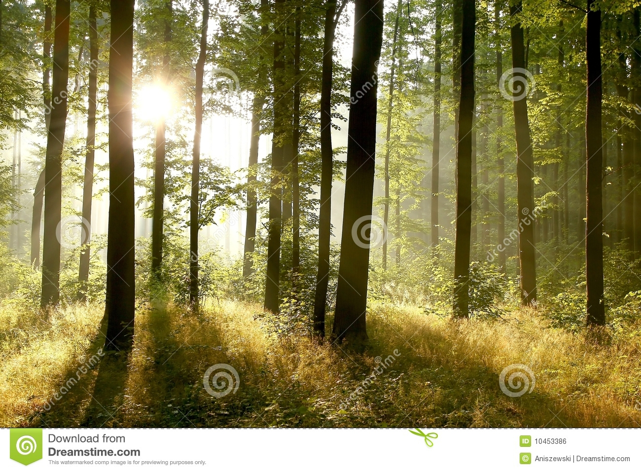 Girl In Woods Wallpaper Summer Forest In The Early Morning Stock Photo Image