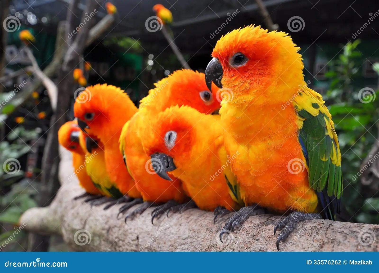 Cute Parakeet Wallpaper Sun Conure Stock Photo Image Of Bright Beautiful