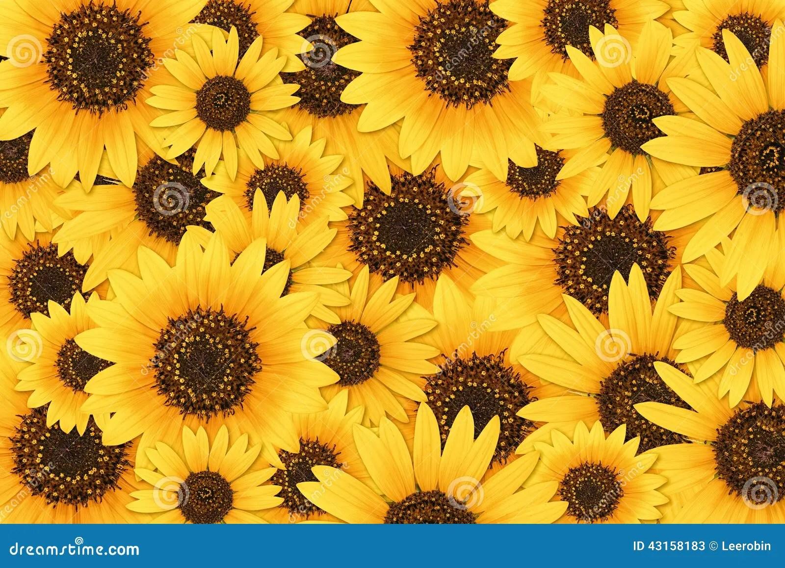 Fall Sunflower Desktop Wallpaper Sunflower Background Stock Image Image Of Helianthus