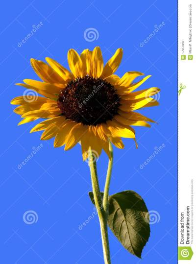 Sunflower-1 stock photo. Image of beauty, floral, background - 57956932