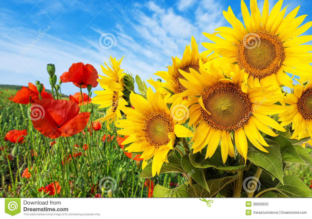 Fall Farm Wallpaper Sunflowers And Poppies Stock Photo Image 38959655
