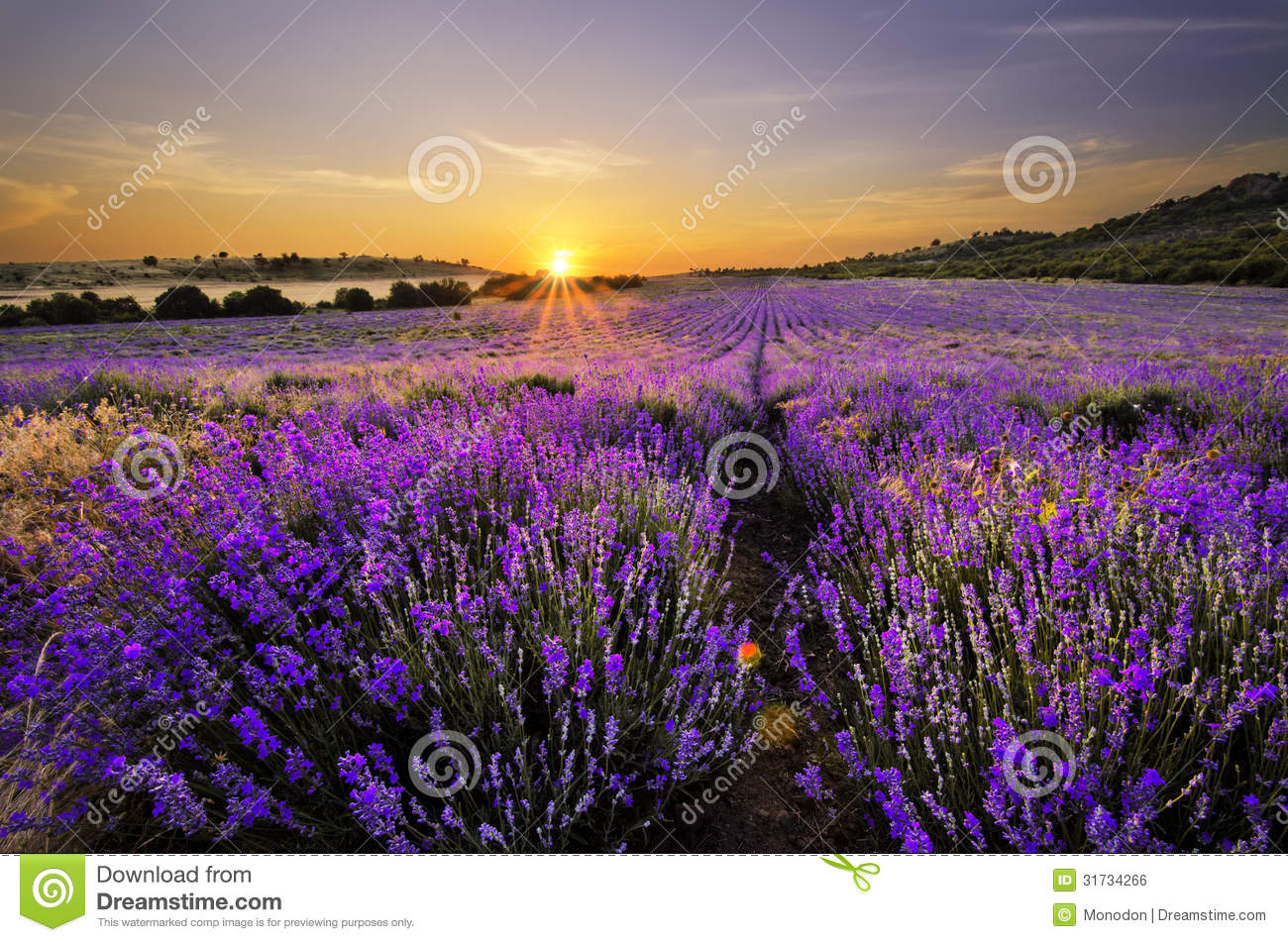 Fall Harvest Wallpaper Sunset Over Lavender Field Royalty Free Stock Image
