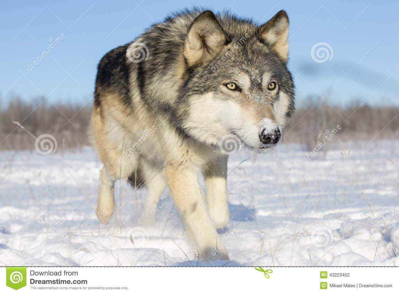 3d Ice Wolf Wallpaper Super Close Picture Of Timber Wolf In Snow Stock Photo