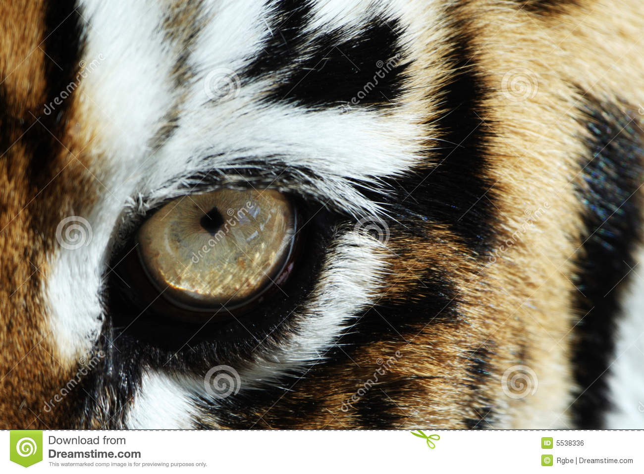 Cool Animal Print Wallpaper Tiger Eye Stock Photo Image Of Detail Carnivora Closeup