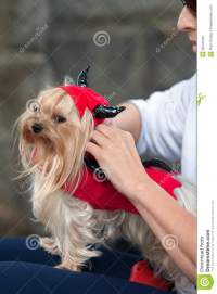 Tiny Dog Wears Devil Costume For Halloween Editorial Photo ...