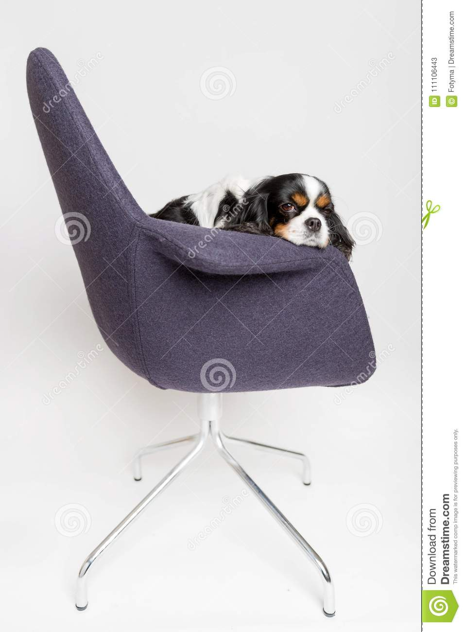 Cute Swivel Chair Dog Sitting On The Swivel Chair Stock Image Image Of Funny Cute
