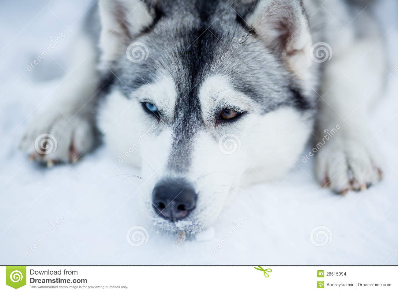 Cute Dog Puppy Background Wallpaper Pictures Tired Siberian Husky Sled Dog Closeup Stock Photo Image
