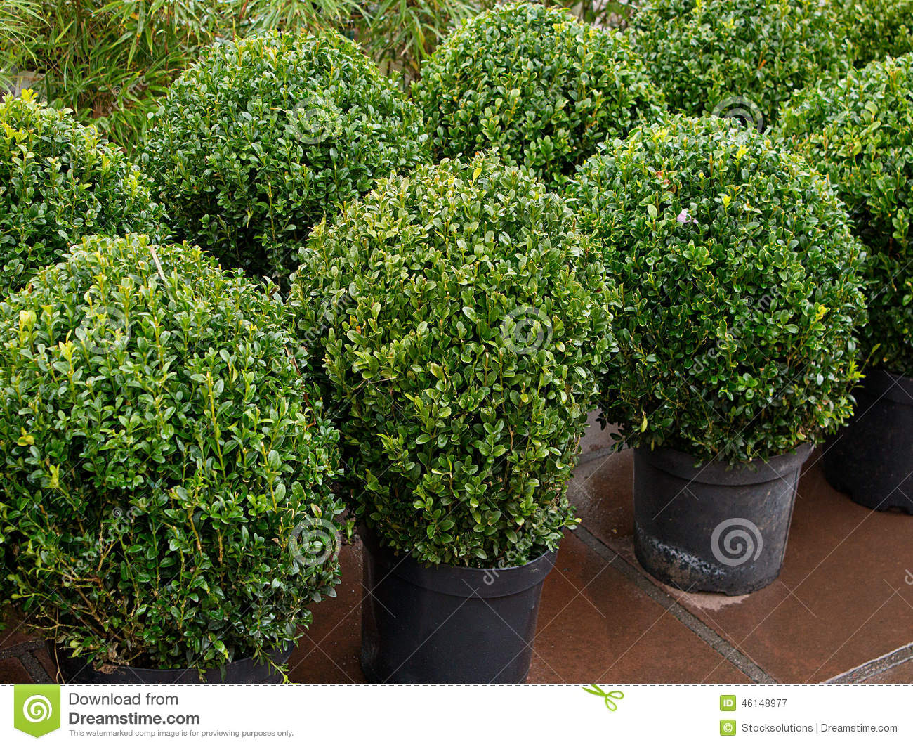 Garden Sale Topiary Bushes Stock Image Image Of Evergreen