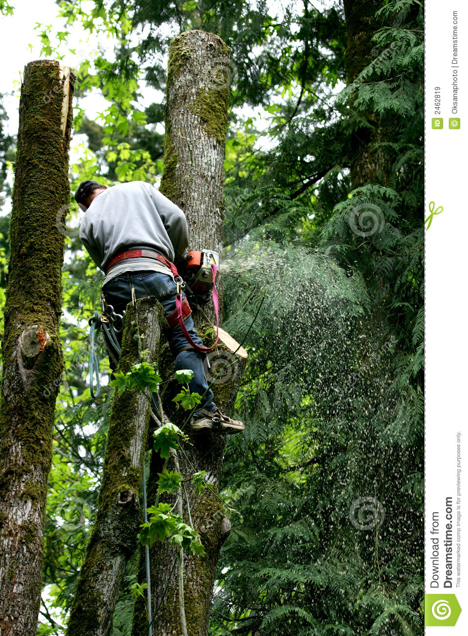 Tree Cutter Tree Cutter Stock Image Image Of Section Chop Working 2462819