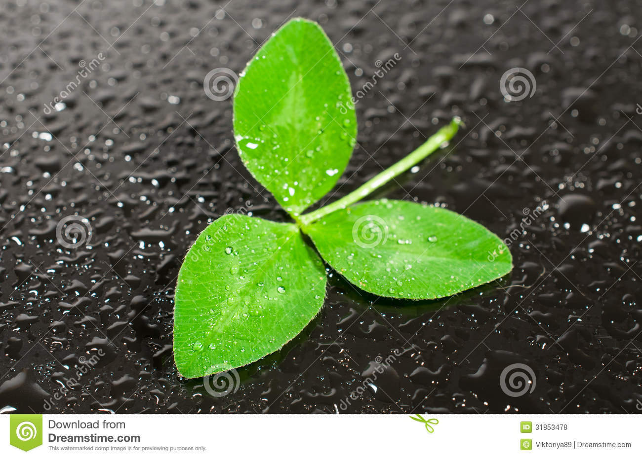 Fall Textured Wallpaper Trifoliate Leaf Clover In Drops Of Water Stock Photo