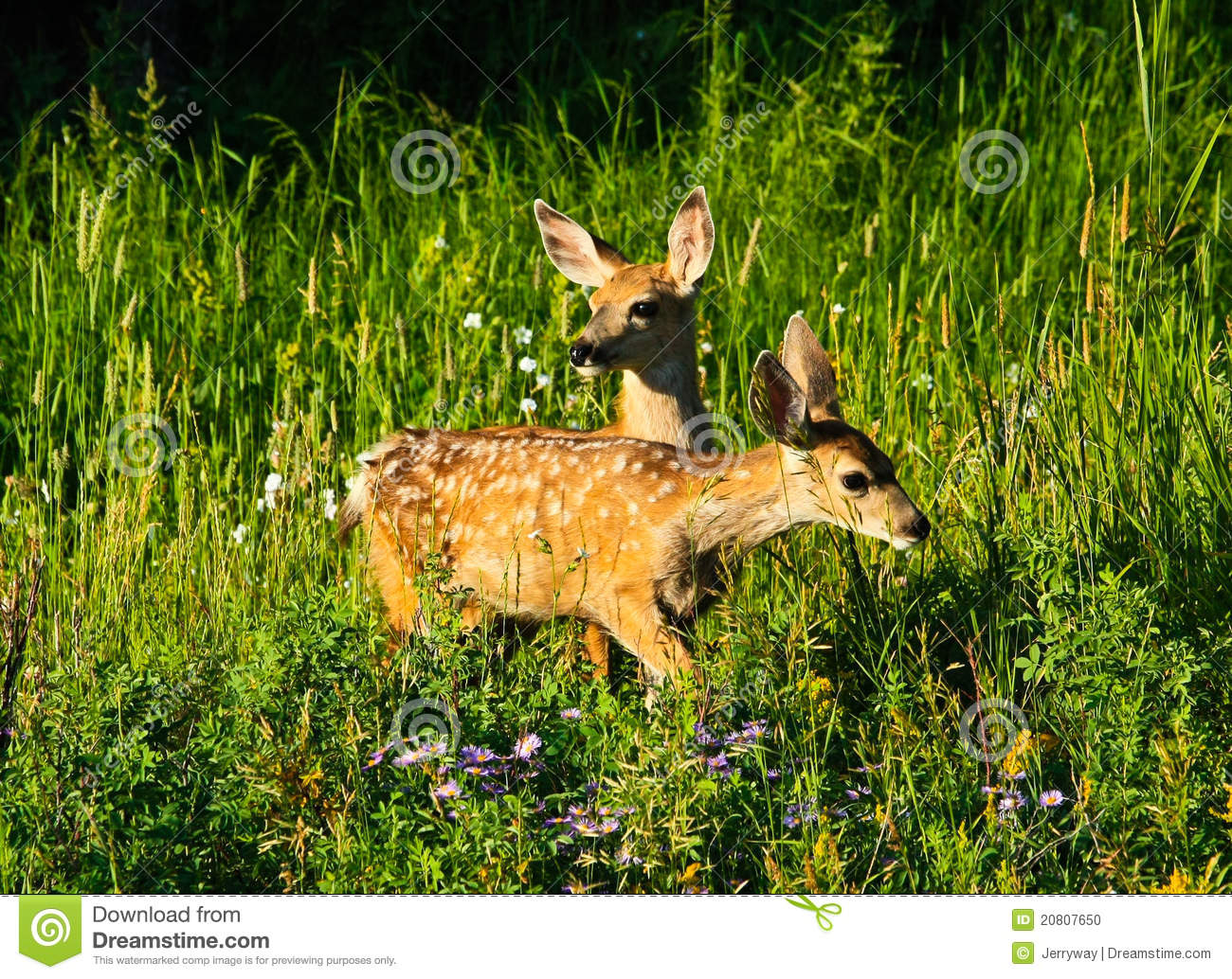 Cute Baby Rabbit Wallpapers Two Baby Deer In Forest Yellowstone Wyoming Stock Photo
