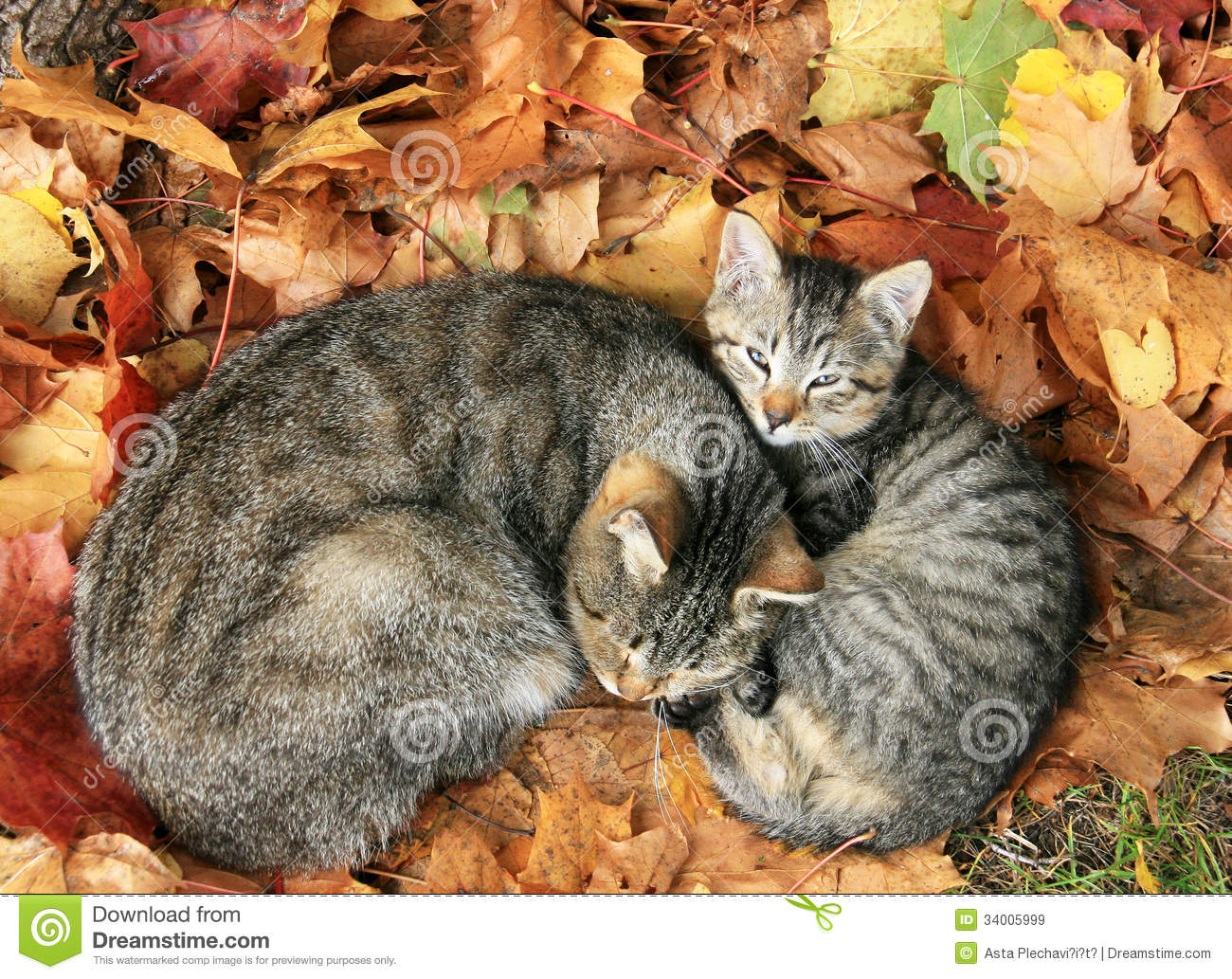 Fall Desktop Wallpaper Themes Two Cats In Autumn Leave Royalty Free Stock Images Image