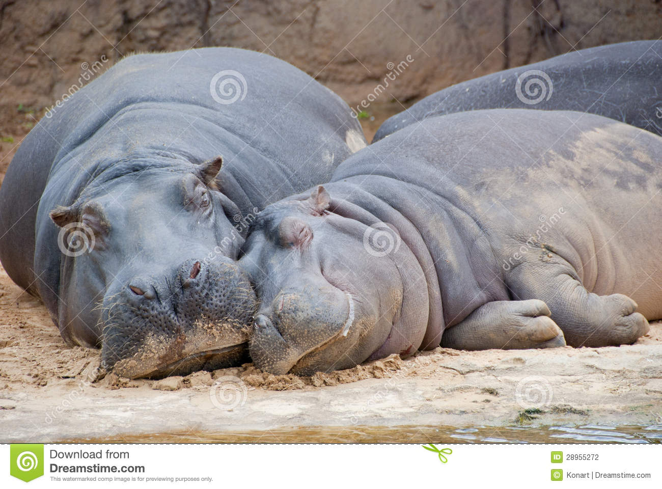 Animal Print Pink Wallpaper Two Hippos Resting At Riverbed Stock Photo Image 28955272