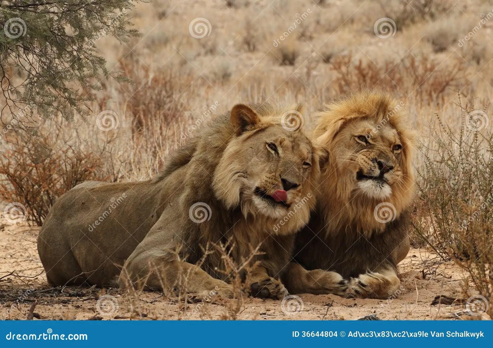 Safari Animal Wallpaper Two Lion Brothers Stock Images Image 36644804