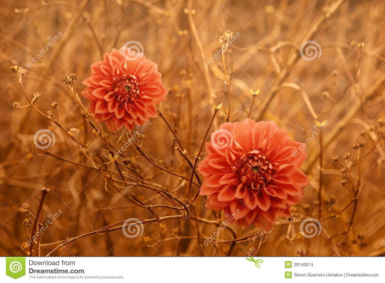 Fall Wallpaper With Pumpkins Two Orange Dahlia Autumn Flowers Over Brown Branches