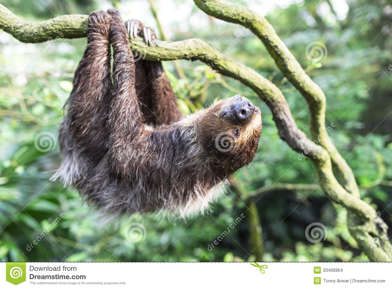Cute Animal Print Wallpaper Two Toed Sloth Stock Photo Image Of Animal Cute Hairy