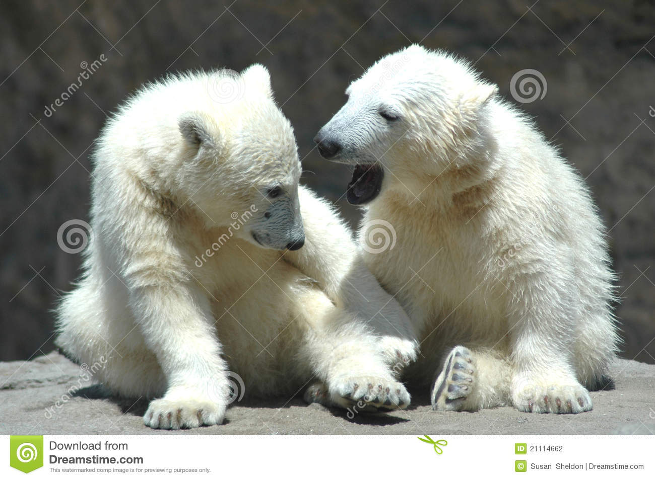 Wallpaper Cute Bear Two Young Polar Bears Playing Stock Photo Image Of