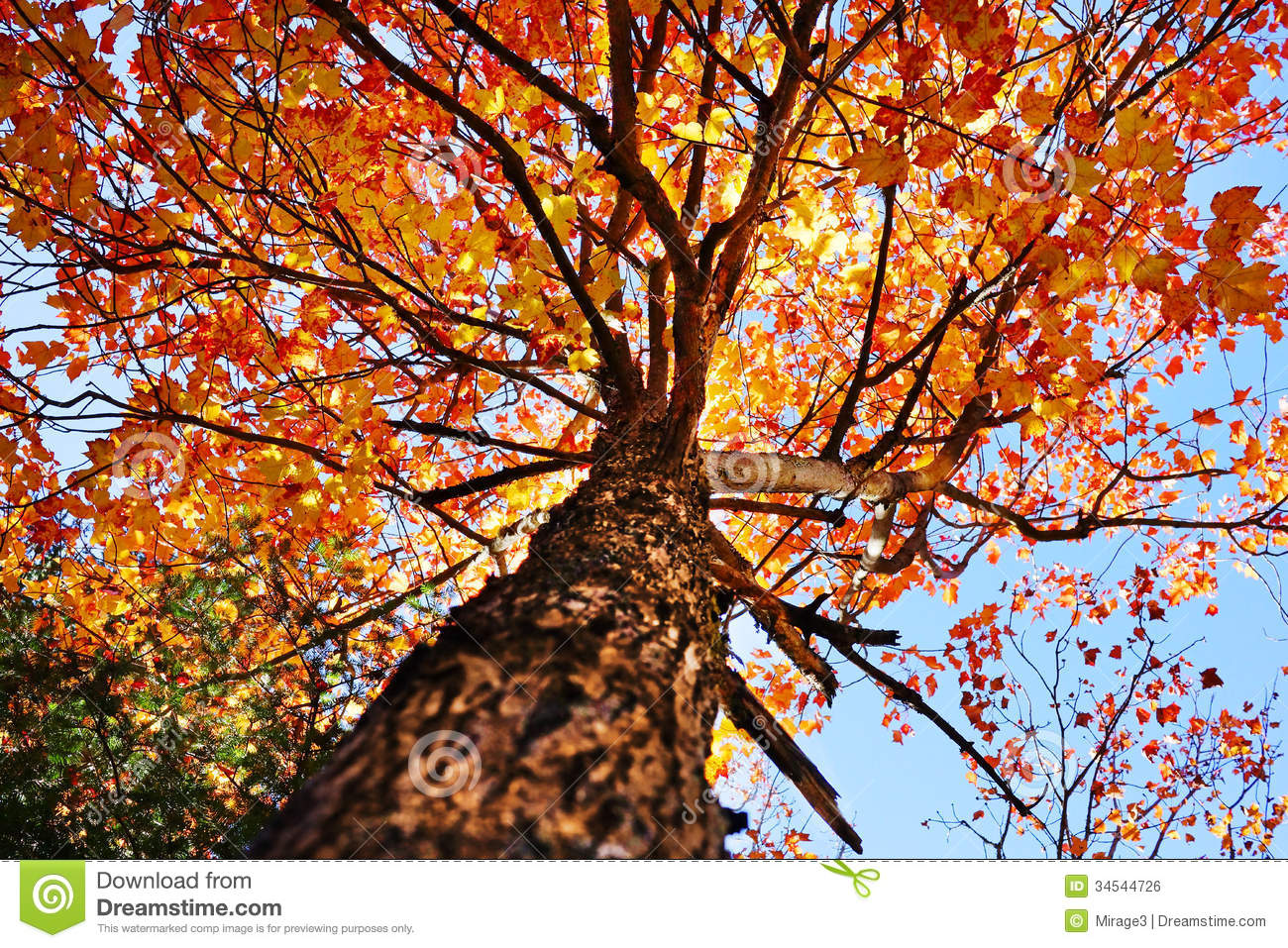 Falling Maple Leaves Wallpaper Under A Maple Tree Royalty Free Stock Image Image 34544726