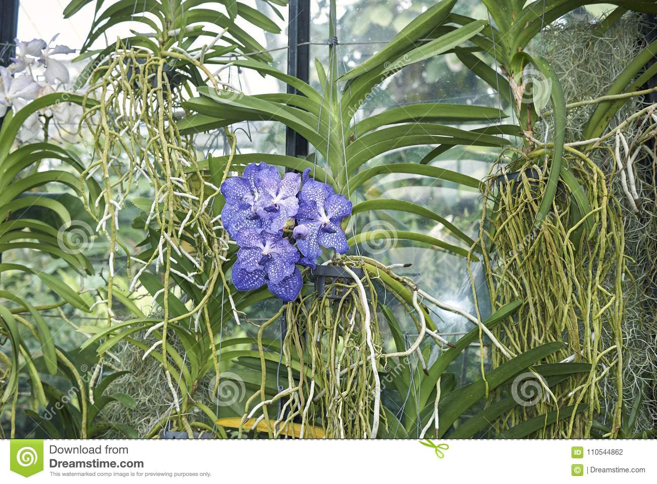 Vanda Coerulea Orchid Stock Photo Image Of Orchid Ladys 110544862