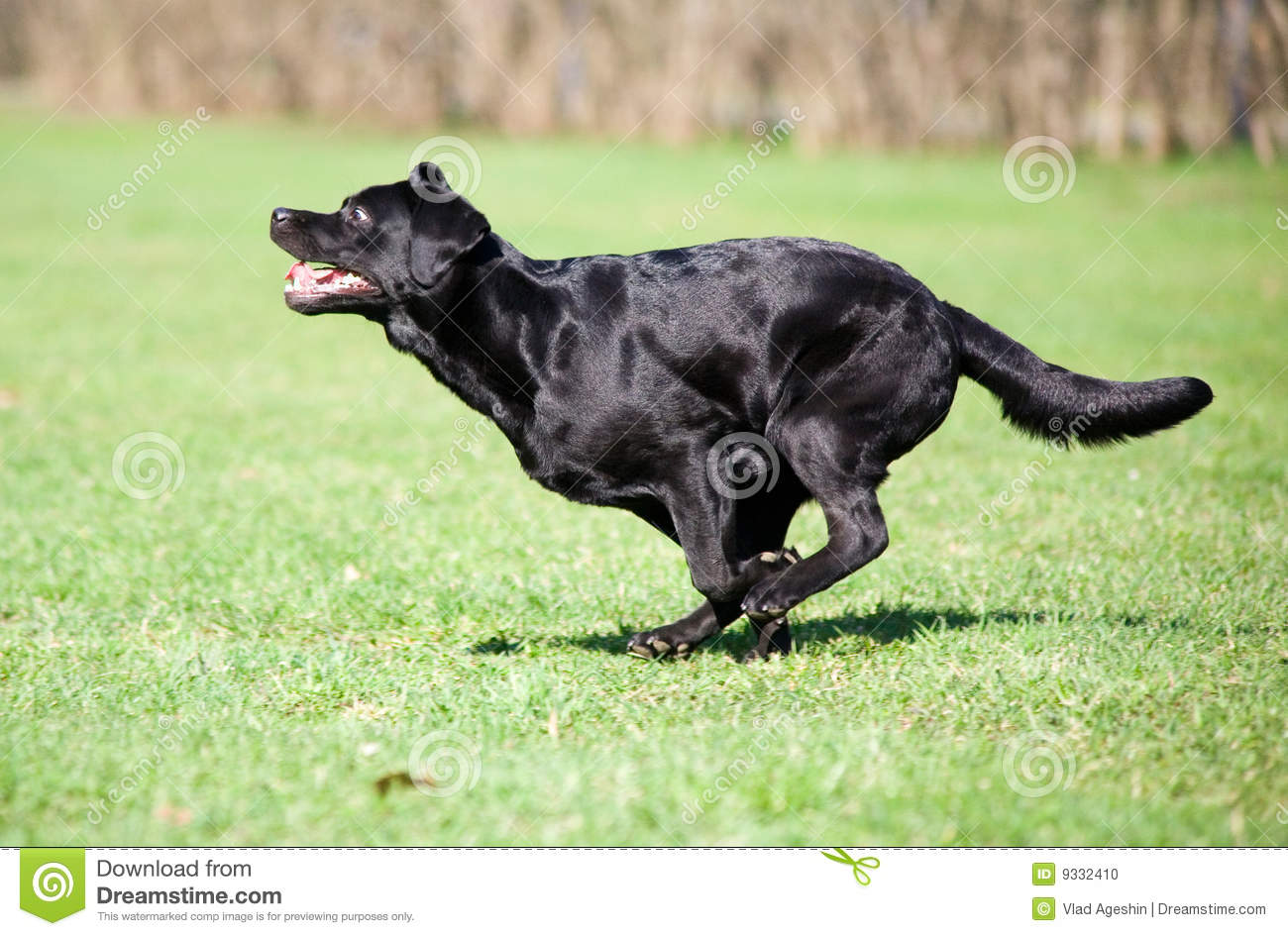Black Lab Dog Running Very Fast Dog Stock Photo Image Of Young Pets Labrador