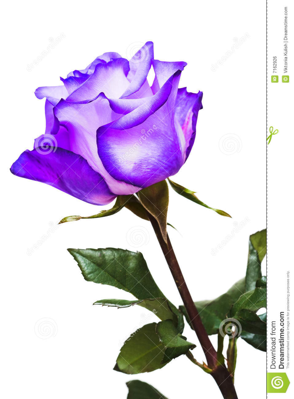 Violet Flower Hd Wallpaper Violet Rose Royalty Free Stock Image Image 7162926