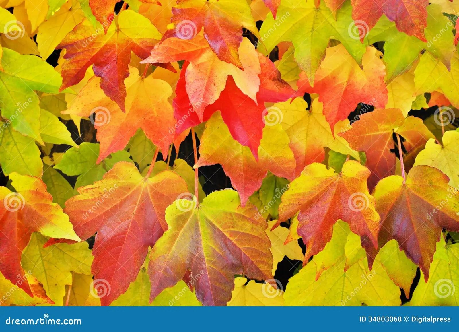 Free Fall Colors Wallpaper Virginia Creeper In Autumn Colors Stock Photo Image