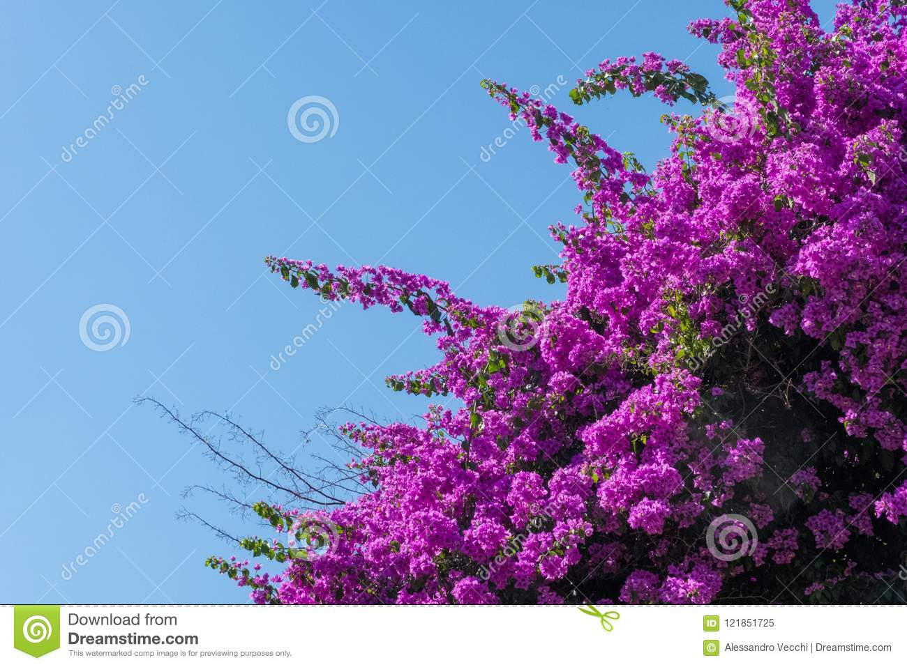 Bougainvillea Wallpaper Wallpaper Of A Bougainvillea Flower Tree And Blue Sky In The