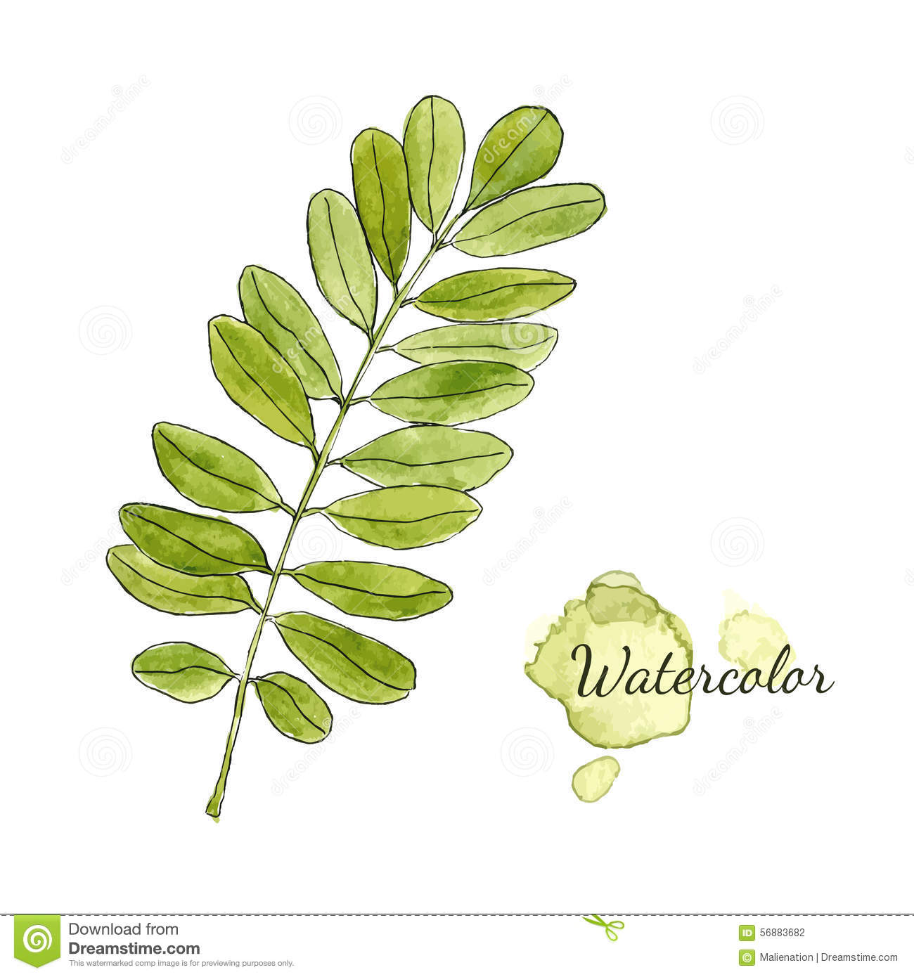 Fall Leaves Watercolor Wallpaper Watercolor Green Acacia Branch With Leaves Isolated Hand