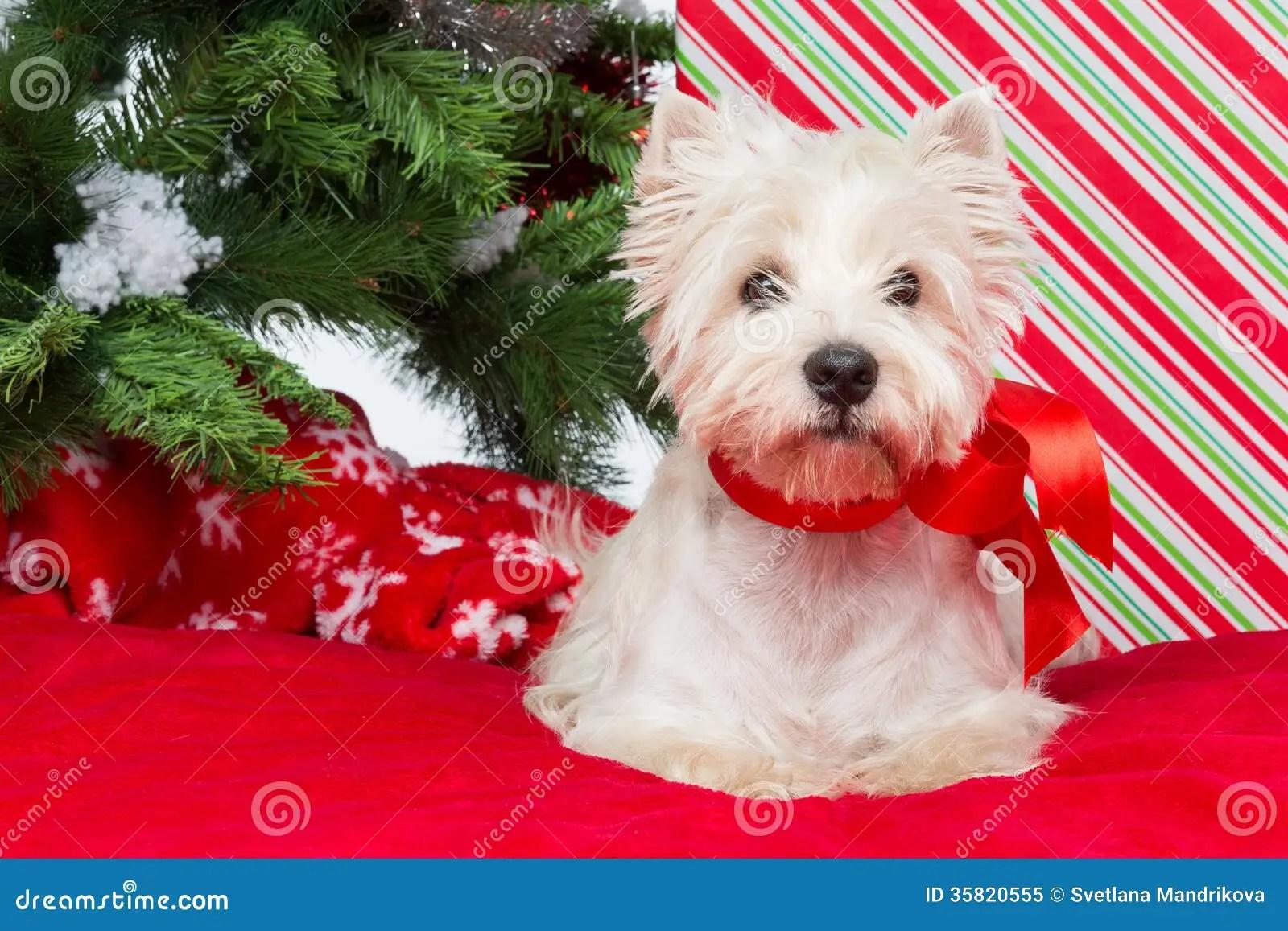 Xmas Cute Wallpaper Westie Under New Year Tree Royalty Free Stock Photo