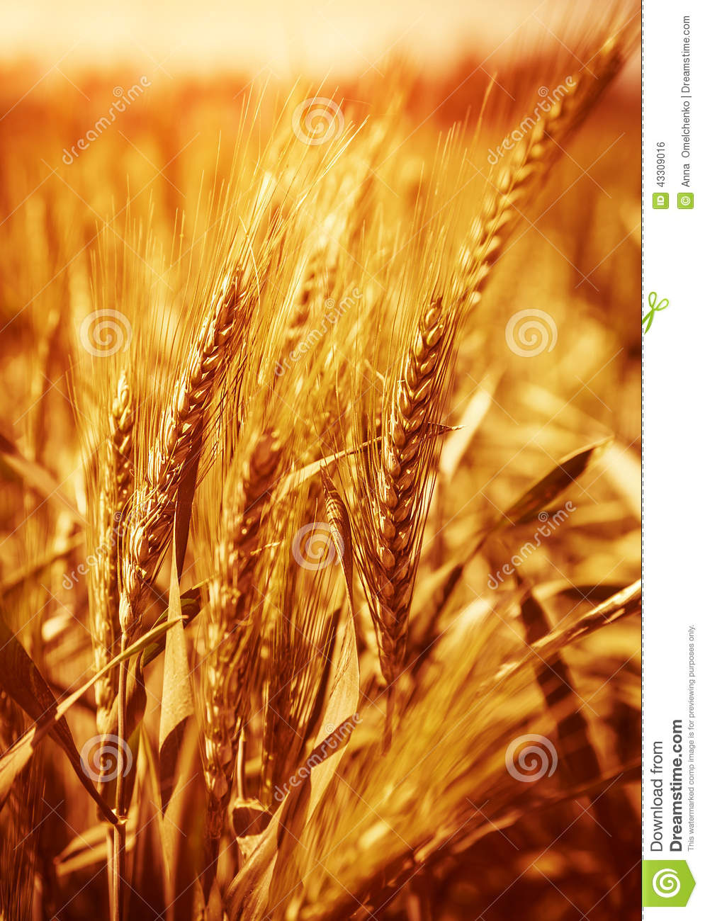 Fall Harvest Wallpaper Hd Wheat Field Background Stock Photo Image 43309016