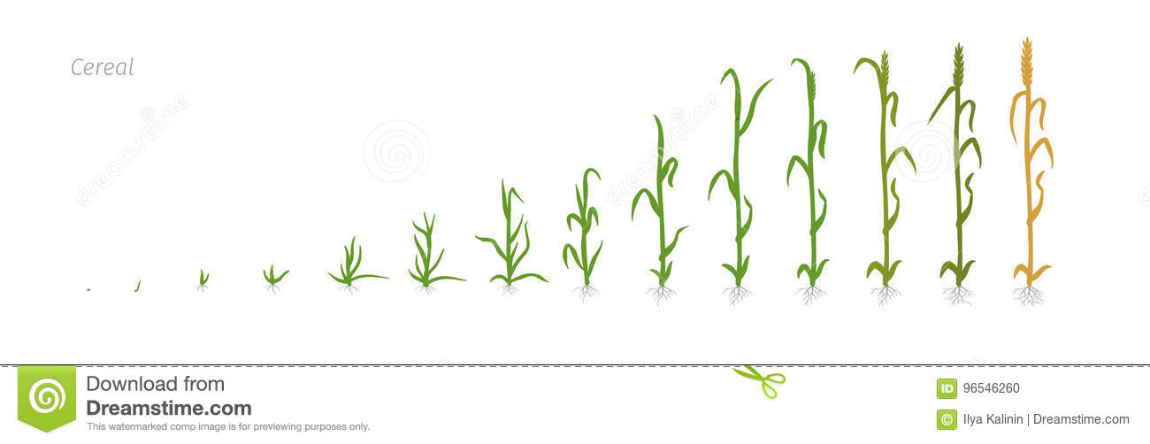 Wheat Plant Triticum Cultivation Agriculture Growth Stages Vector
