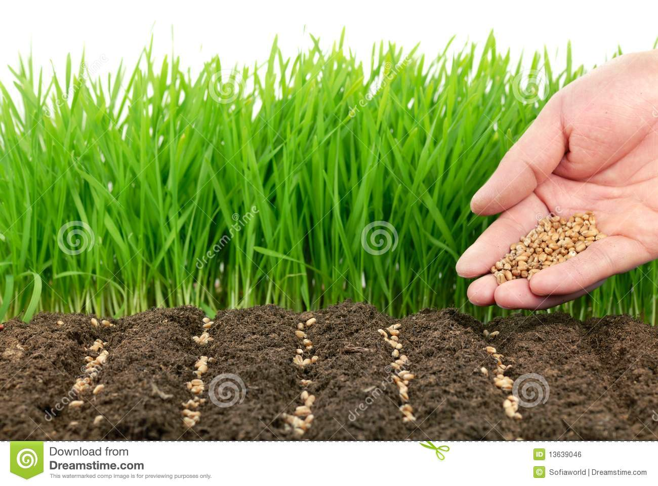 Zonnebloempitten Zaaien Wheat Seeds And Their Plant Royalty Free Stock Image