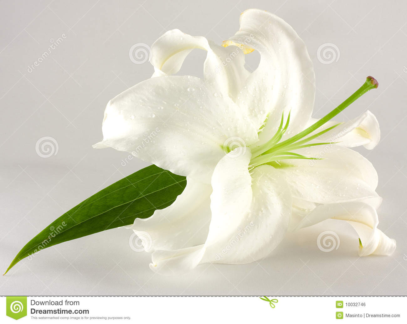 3d Water Drop Wallpaper White Lily Royalty Free Stock Image Image 10032746