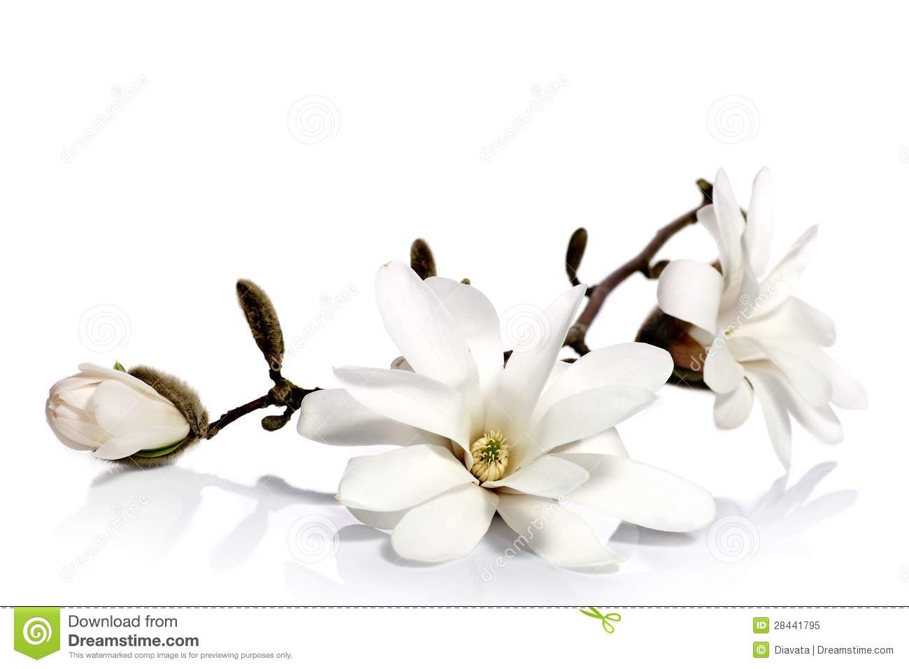 Black And White Floral Wallpaper White Magnolia Flowers Stock Image Image Of Closeup