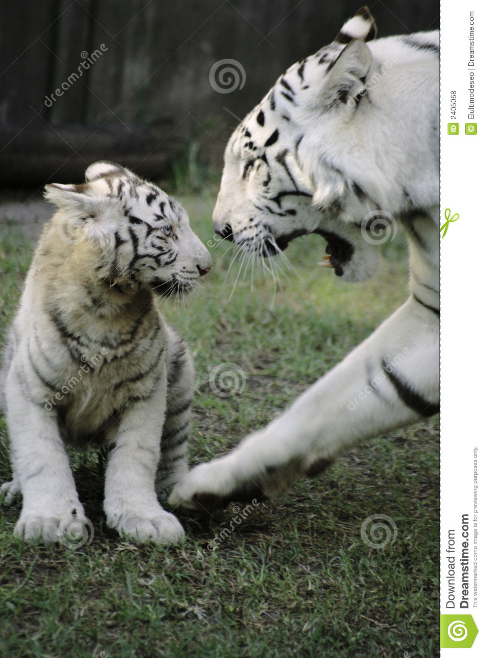 Cute Bengal Cats Wallpaper White Tiger With Baby Royalty Free Stock Photos Image