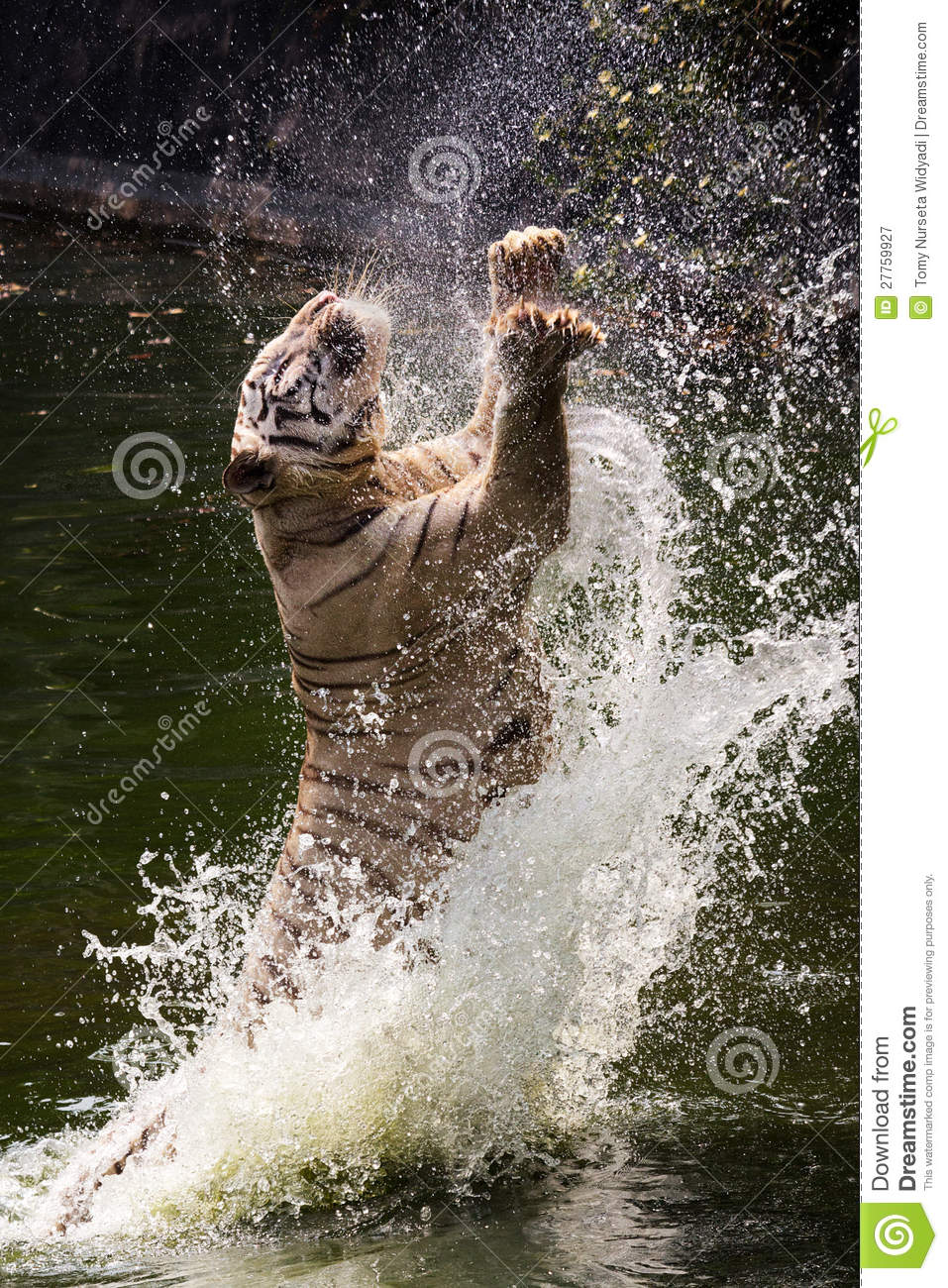 Amazon Rainforest Animals Wallpaper White Tiger Jumps Jumping Stock Image Image Of Black