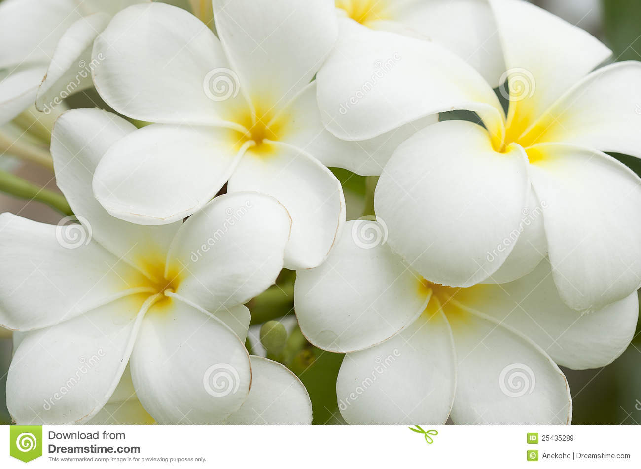 Car Wallpaper Clipart White And Yellow Frangipani Flowers Royalty Free Stock