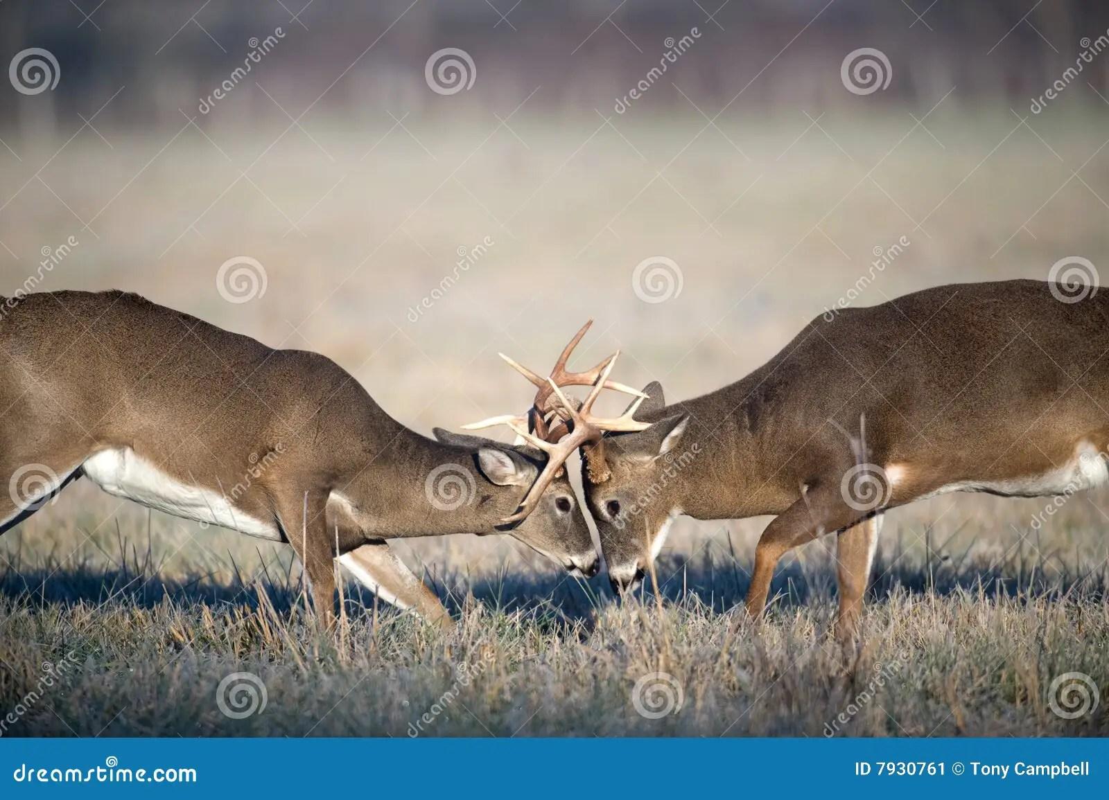 Fall Wallpaper Hd Free Whitetail Deer Fighting Stock Image Image 7930761