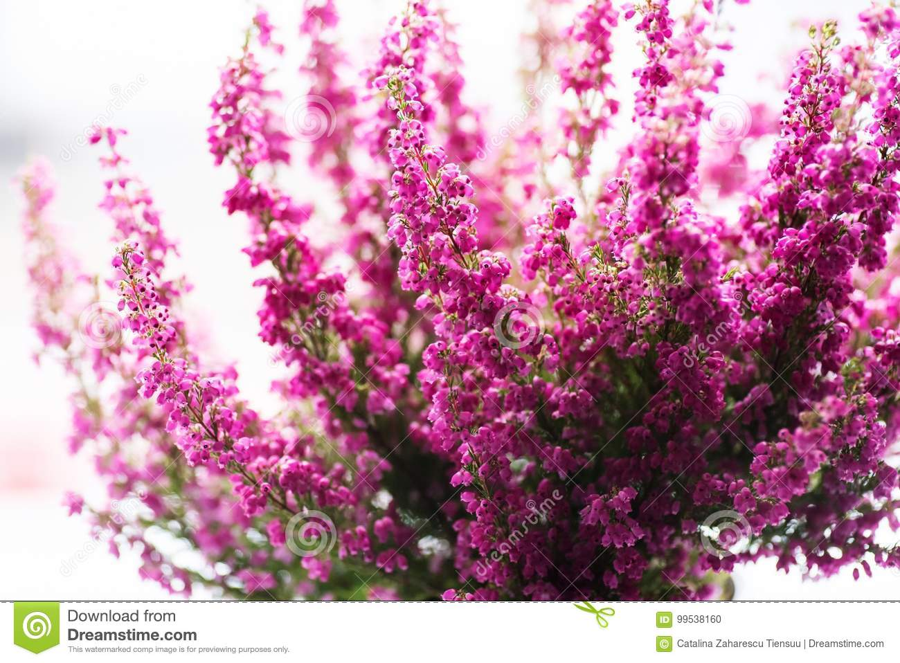 Erica Gracilis Erica Gracilis Winter Heather In Full Blossom Stock Photo Image