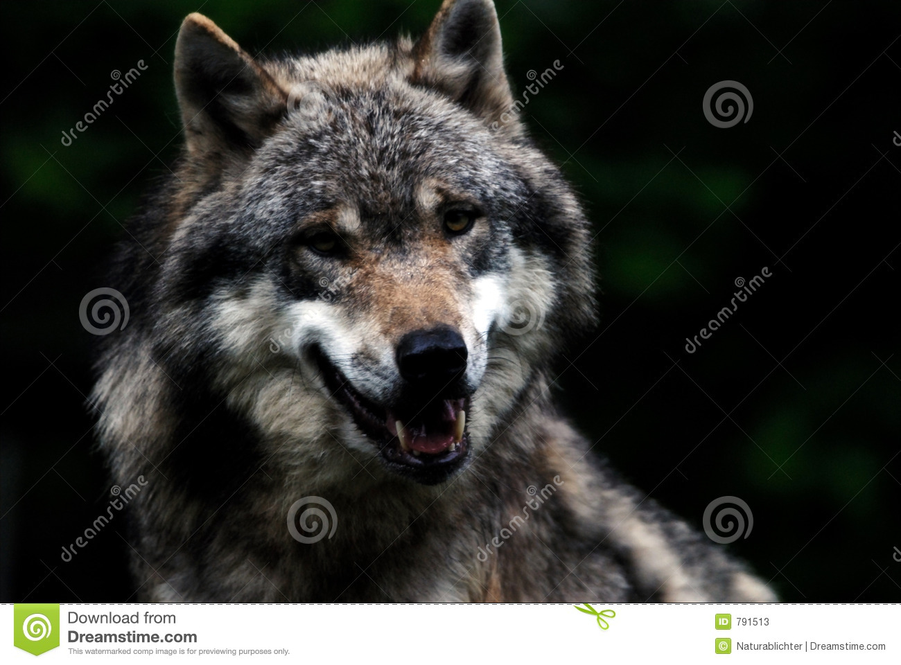 Free Country Fall Wallpaper Wolf Leader Stock Image Image Of Inspiring Head Leaves