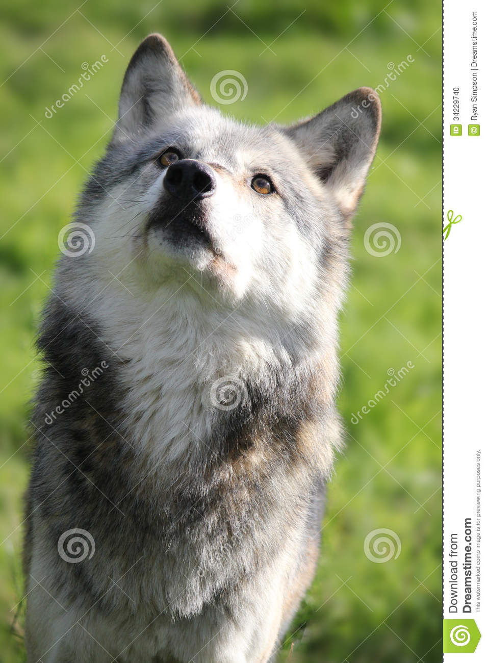 3d Bear Wallpaper Wolf Looking Up Portrait Stock Photo Image 34229740