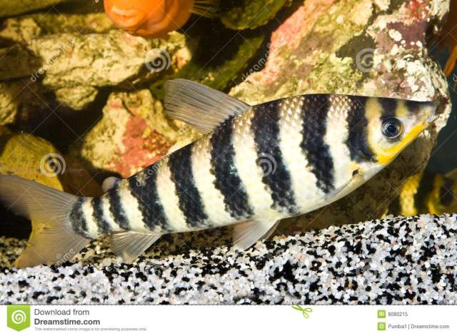 Tropical fish yellow with black stripes 2017 fish tank for Yellow tropical fish