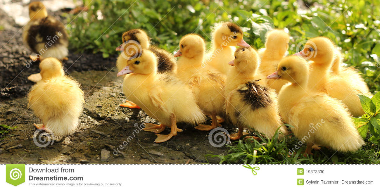 Cute Little Baby Wallpaper Hd Yellow Cute Chick And Duck Stock Photo Image Of Green