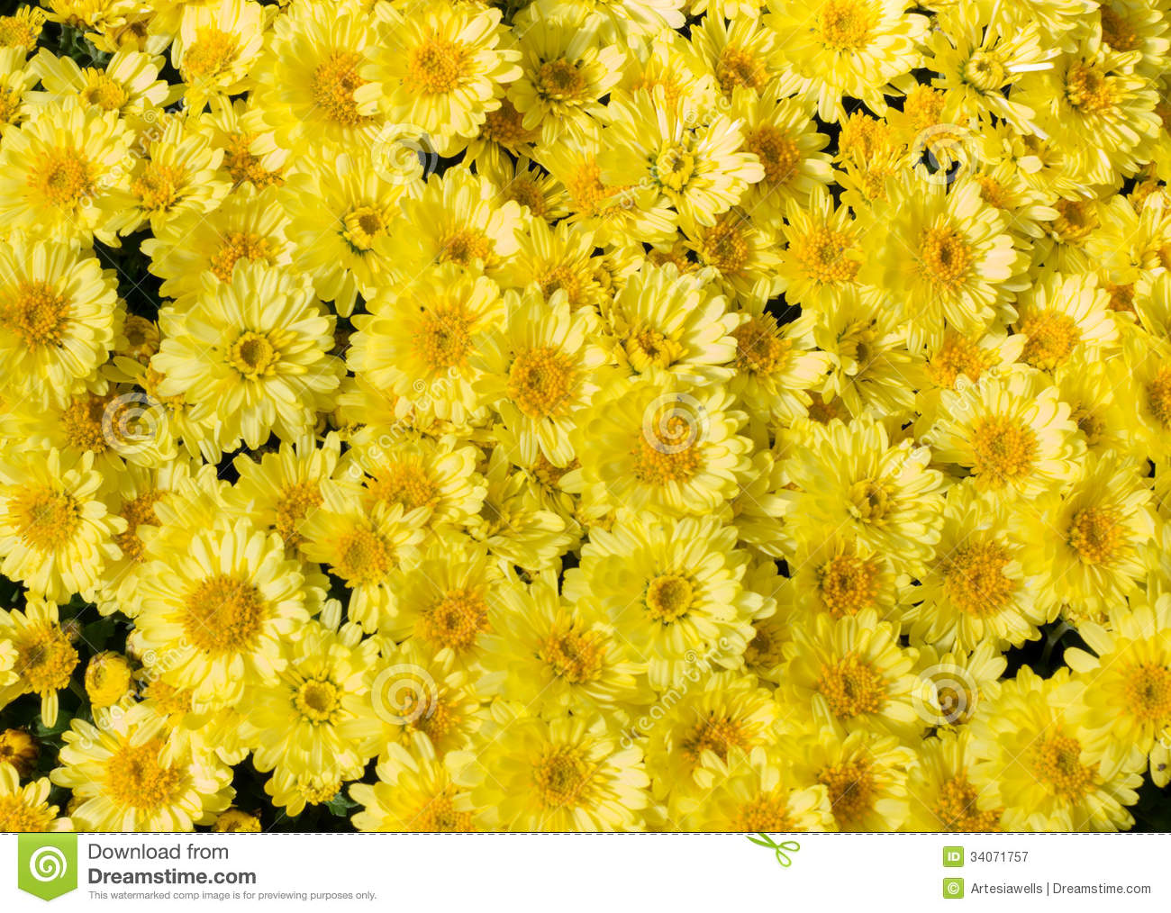 Fall Daisy Wallpaper Yellow Flower Bed Of Asters Royalty Free Stock Photography