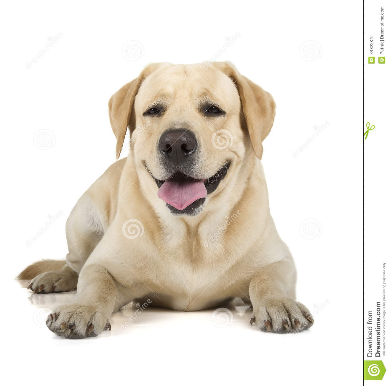 Yellow Lab Dogs For Sale Yellow Labrador Retriever Smiling Stock Photo Image Of Pedigree