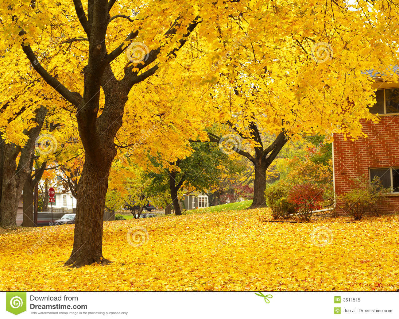 Fall Iphone 6 Plus Wallpaper Yellow Maple Tree Landscapes Stock Image Image 3611515