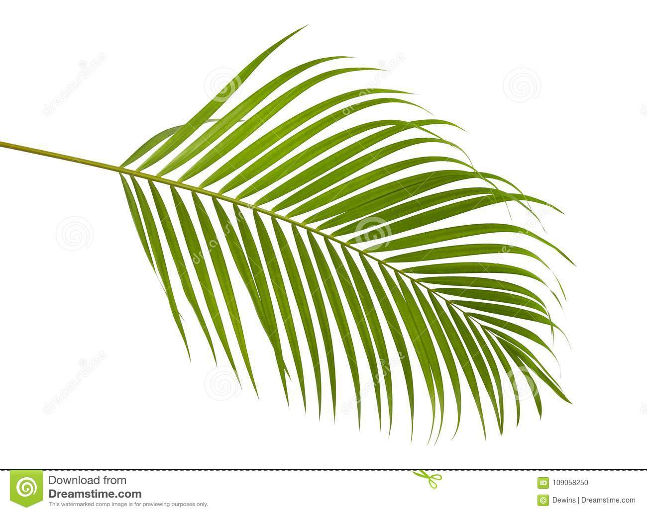 Yellow Palm Areca Palm Chrysalidocarpus Lutescens Yellow Palm Leaves Dypsis Lutescens Or Golden Cane Palm