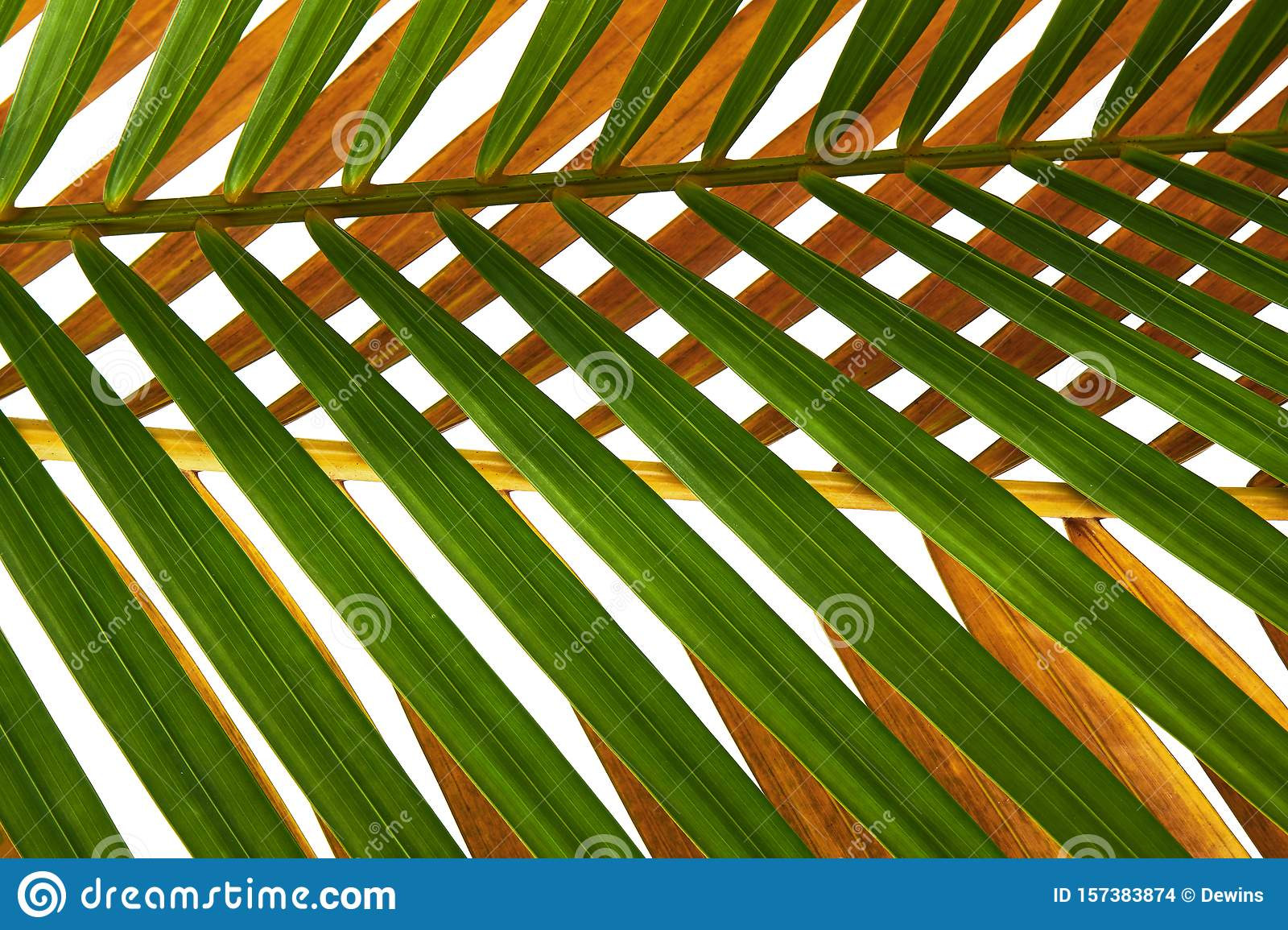 Yellow Palm Leaves Dypsis Lutescens Or Golden Cane Palm Areca Palm Leaves Tropical Foliage Isolated On White Background With C Stock Photo Image Of Beach Botanic 157383874